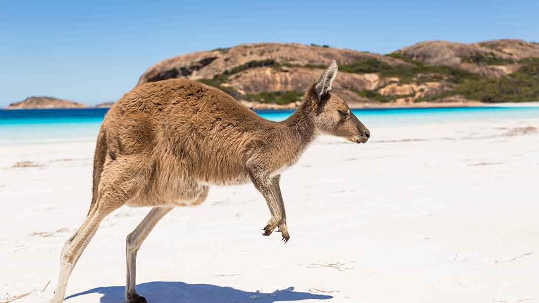 Travel to Australia - Kangaroo