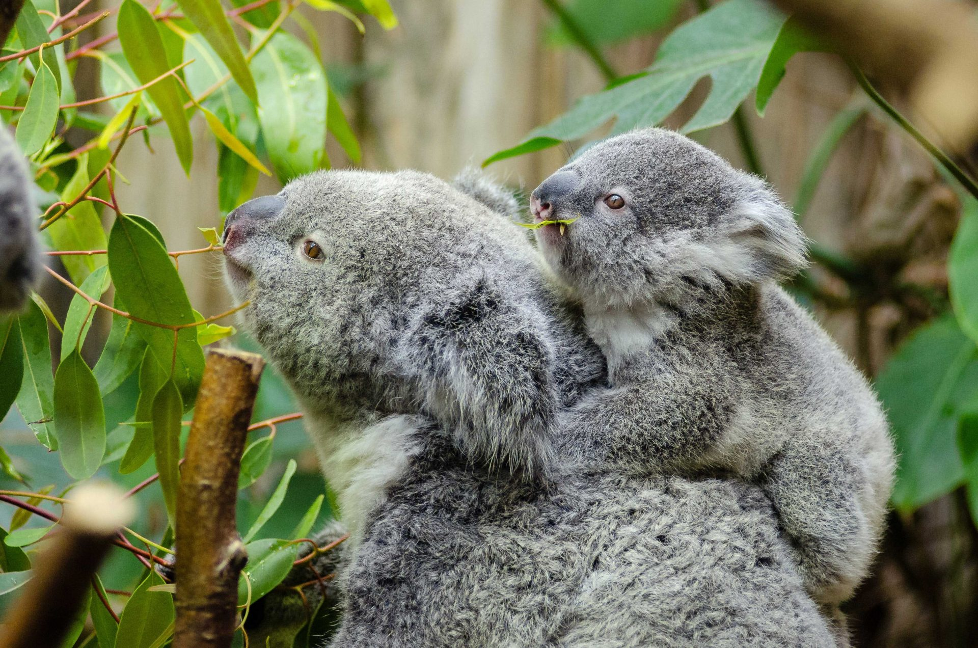 Cuddle a Koala in Far North Queensland
