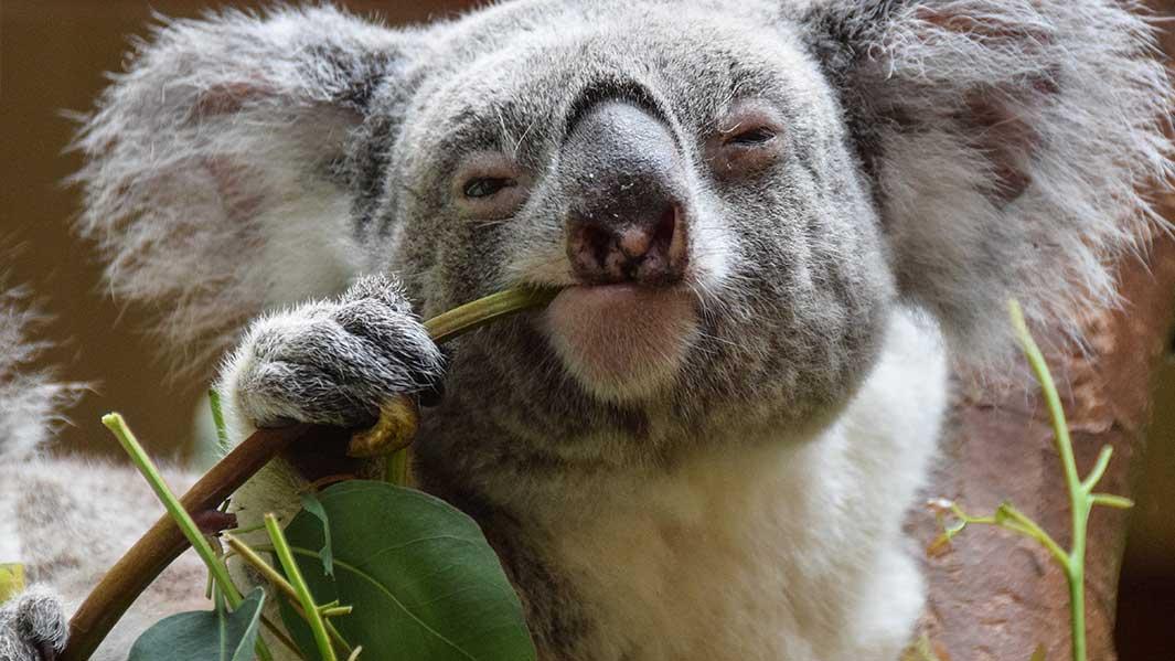Cuddle a Koala in Far North Queensland
